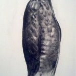 Hawk Wall Drawing: Charcoal